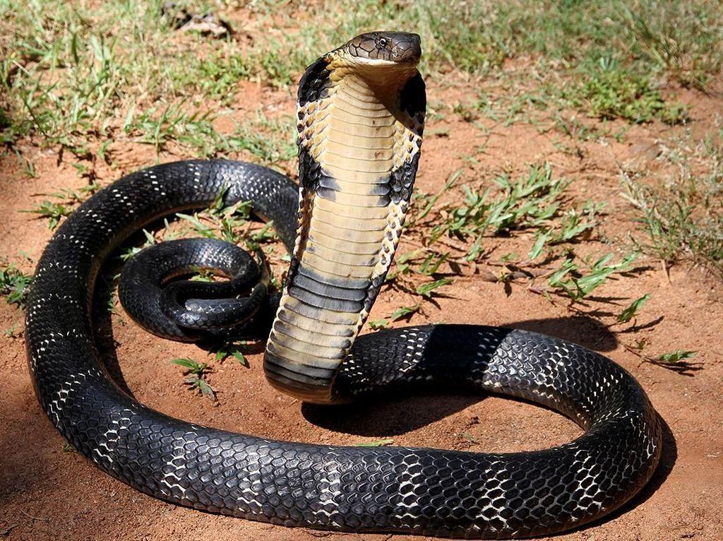 Pawang Ular di Mempawah Kalbar Tewas Akibat Dipatuk King Kobra
