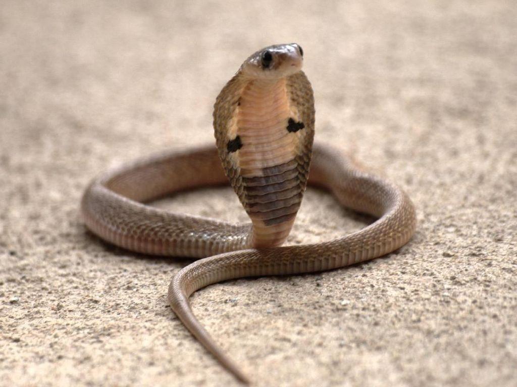 Ini Momen Pawang Ular di Kalbar 2 Kali Dipatuk King Kobra hingga Tewas