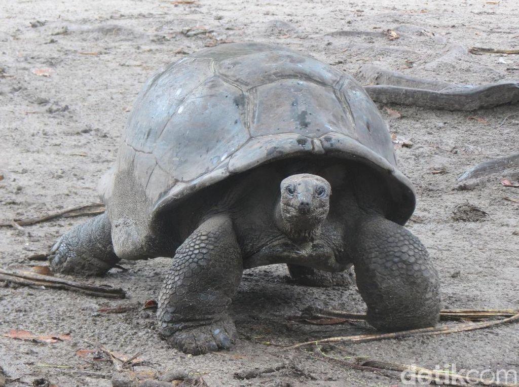 Wow! Ada Kura-kura Raksasa di Seychelles