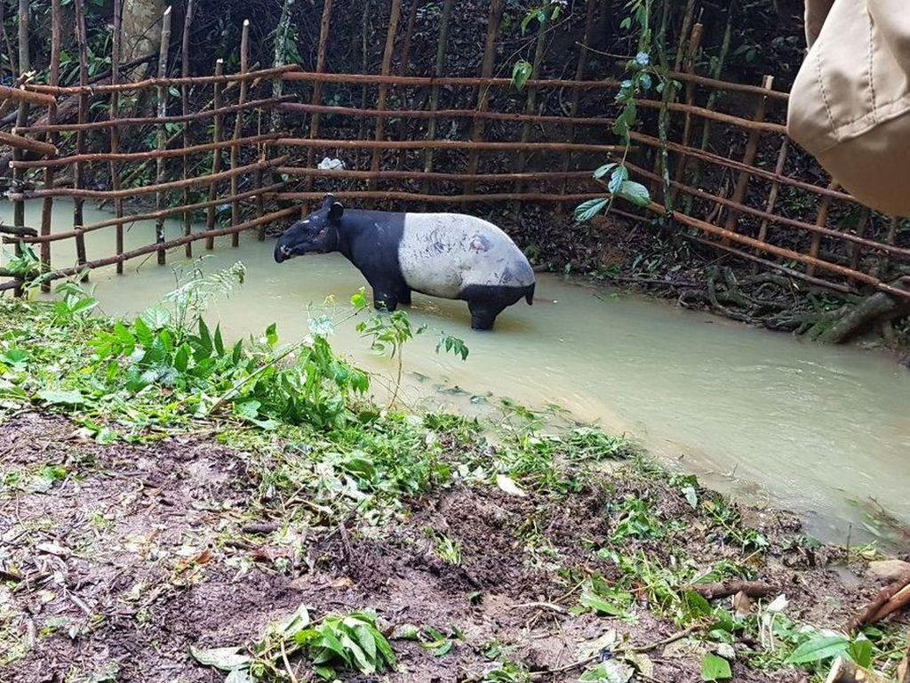 Jejak Satwa di Inhil Ternyata Tapak Tapir, Masuk Kampung Akibat Karhutla