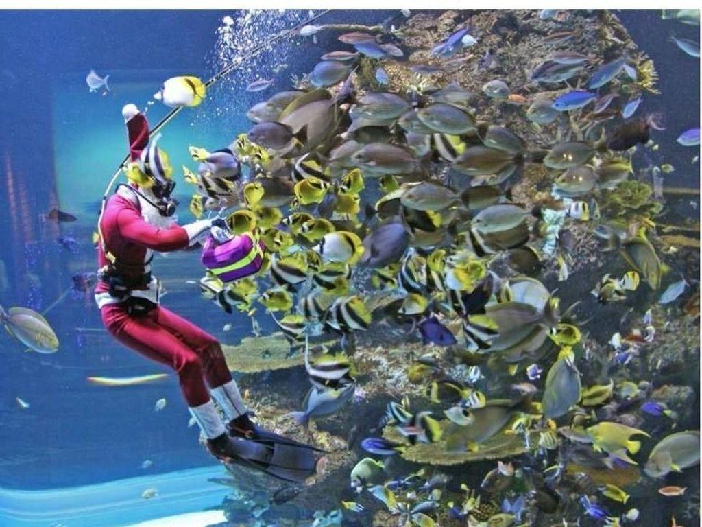 Rayakan Natal di S.E.A. Aquarium Bareng Salah Satu Pari Terlangka