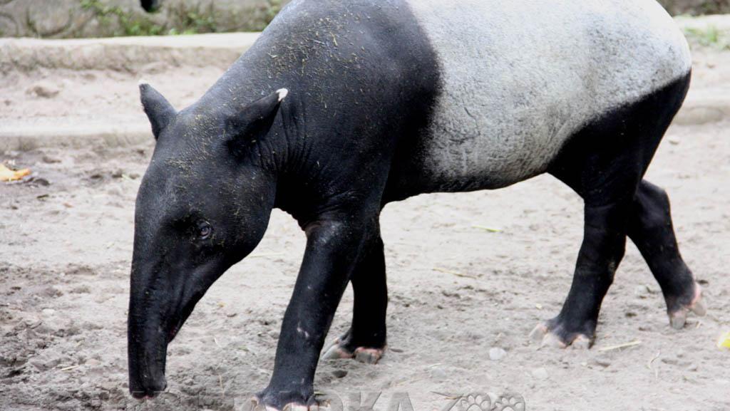 Foto: Sempat Bikin Takut Warga, Ini Aneka Macam Tapir