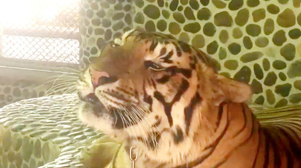 Foto: Kasihan! Wajah Harimau Ditusuk-tusuk Agar Mengaum Saat Foto