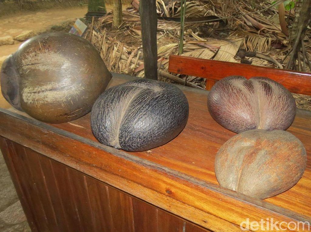 Foto: Perjalanan 5.854 Km Kelapa Ajaib dari Seychelles ke Cirebon