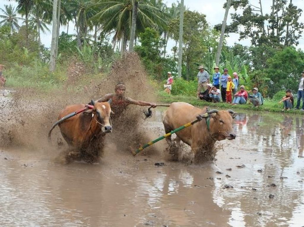 Begini Serunya Tradisi Balap Sapi di Sumatera Barat