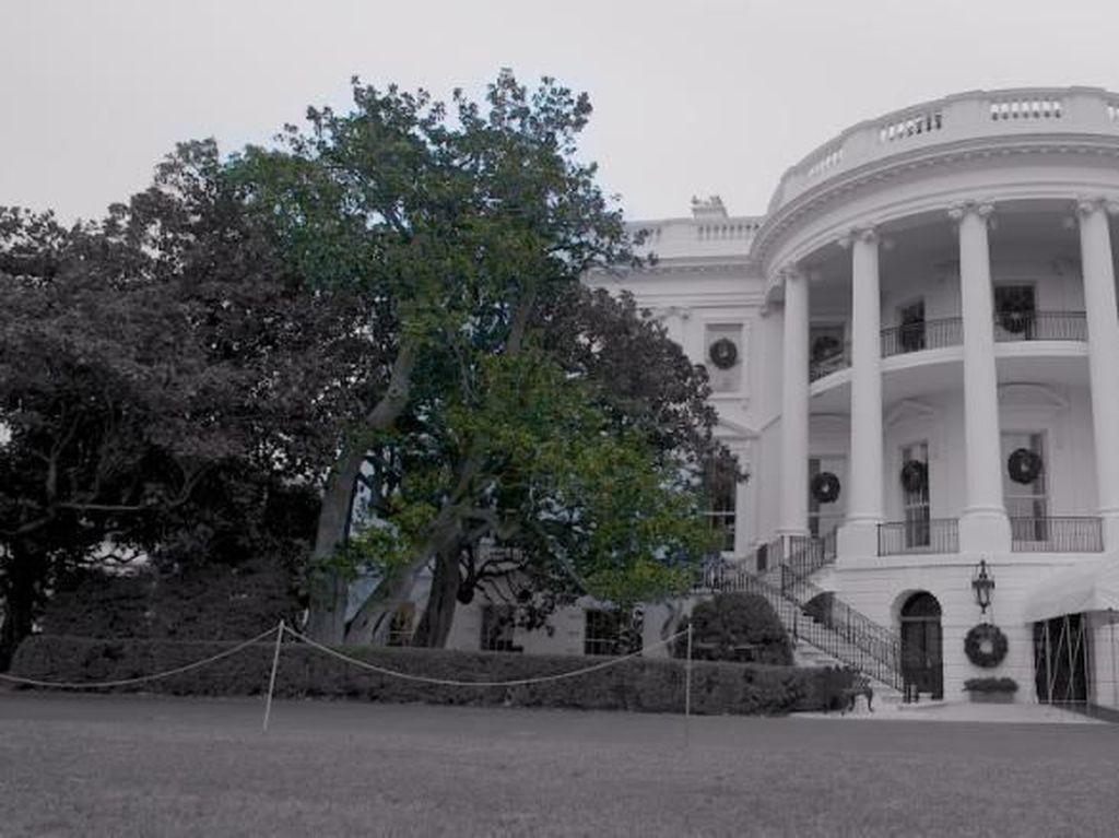 Video: Pohon Magnolia Berusia 2 Abad di Gedung Putih Ditebang
