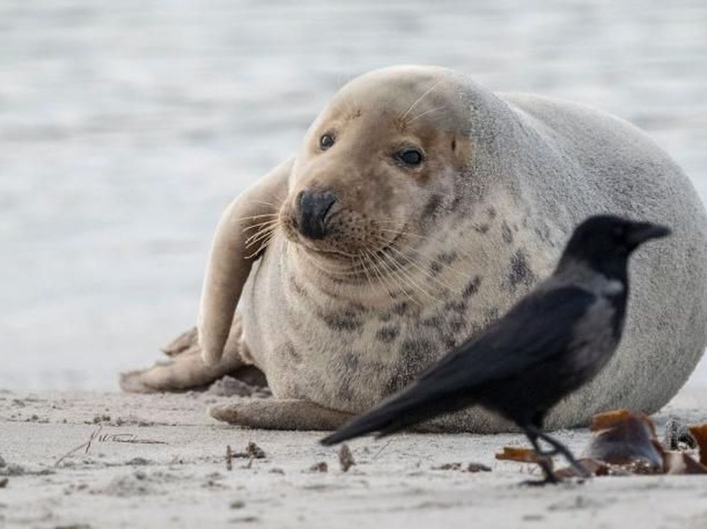 Waduh! Anjing Laut Lempari Manusia dengan Gurita