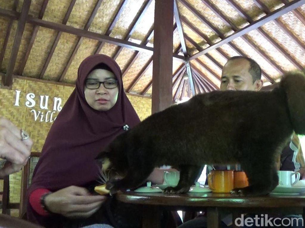 Sensasi Minum Kopi Luwak Bareng Binatang Aslinya