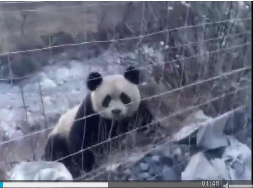 Panda Raksasa Liar Ini Terciduk Kamera Berkeliaran di Sichuan