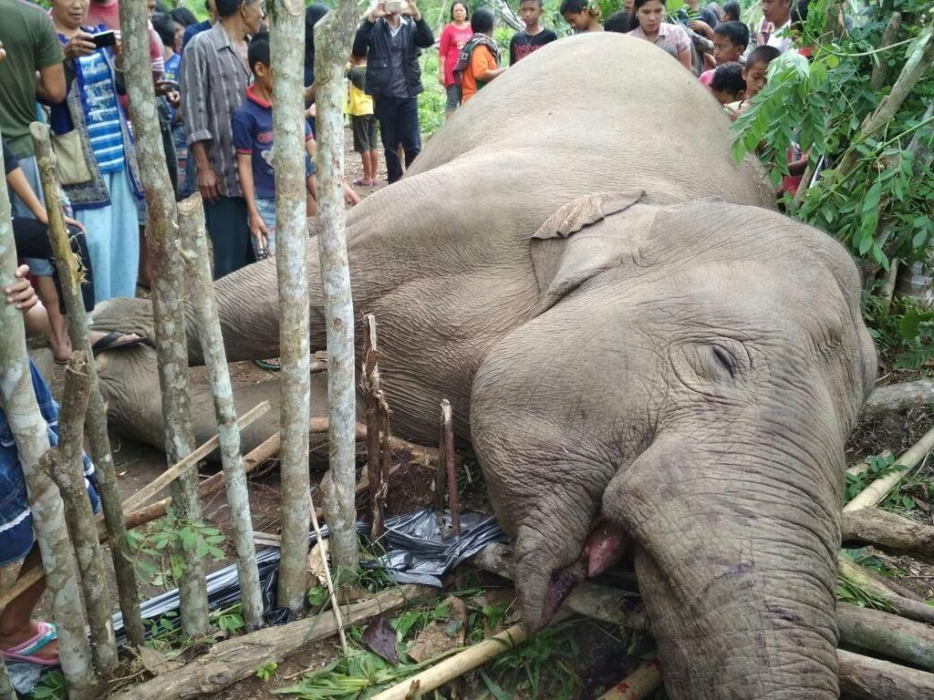 Gajah di Sumsel Mati Tersengat Aliran Listrik Pagar Perkebunan
