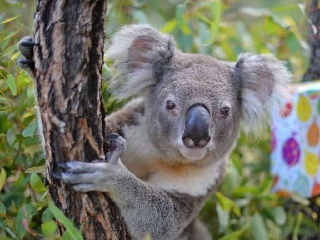Koala Korban Kebakaran Australia Akhirnya Pulang ke Habitatnya