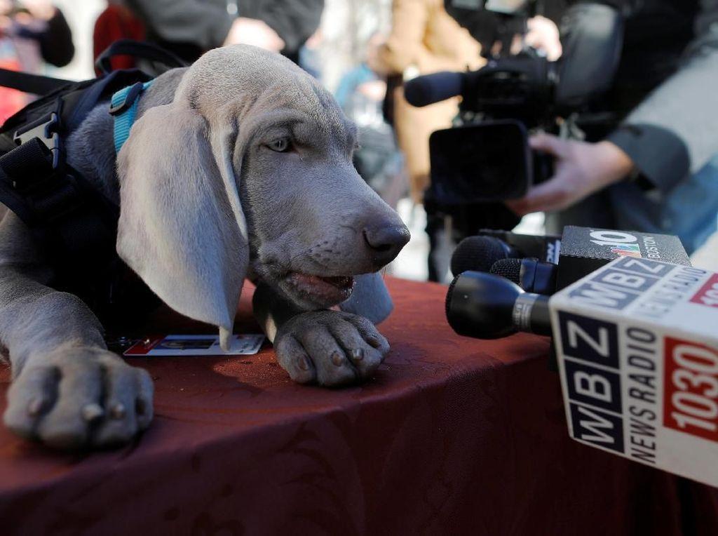 Guk! Saat Riley Si Anjing Pengendus Diwawancara