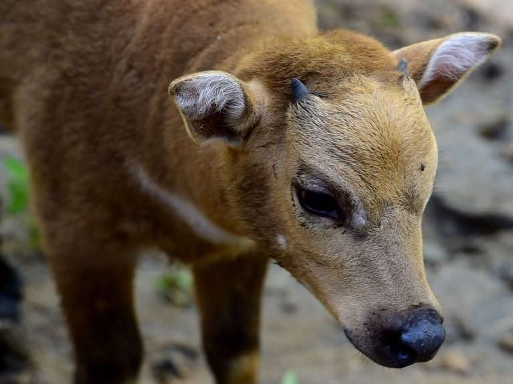 Anoa di Sulut Semakin Punah, Tinggal 300-an Ekor