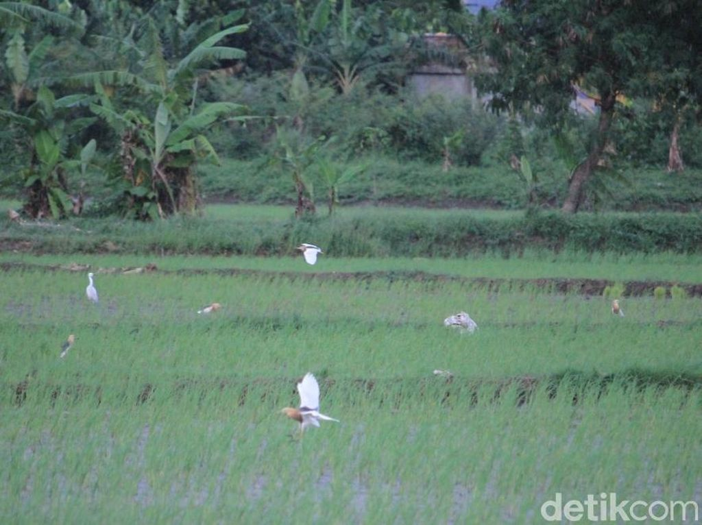 Menengok Kampung Blekok di Bandung