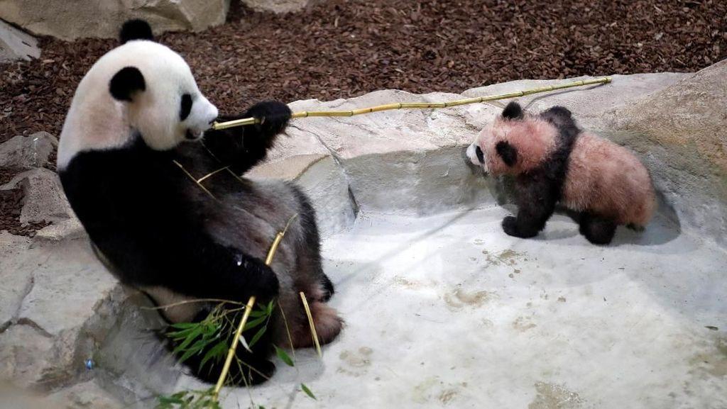 Debut Perdana Yuan Meng, Bayi Panda Pertama di Prancis
