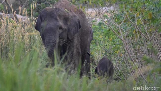 Hindari Konflik dengan Manusia, Gajah Liar di Riau Akan Dipasang GPS