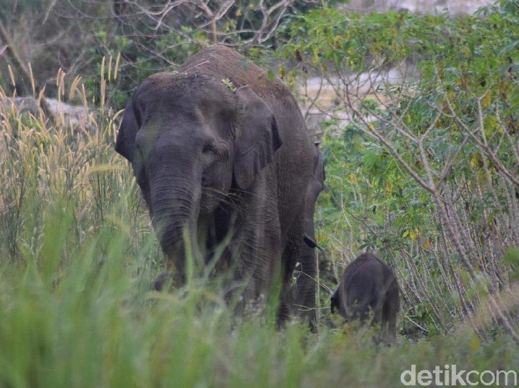 Potret Gajah Liar di Bengkalis Riau yang Baru Melahirkan