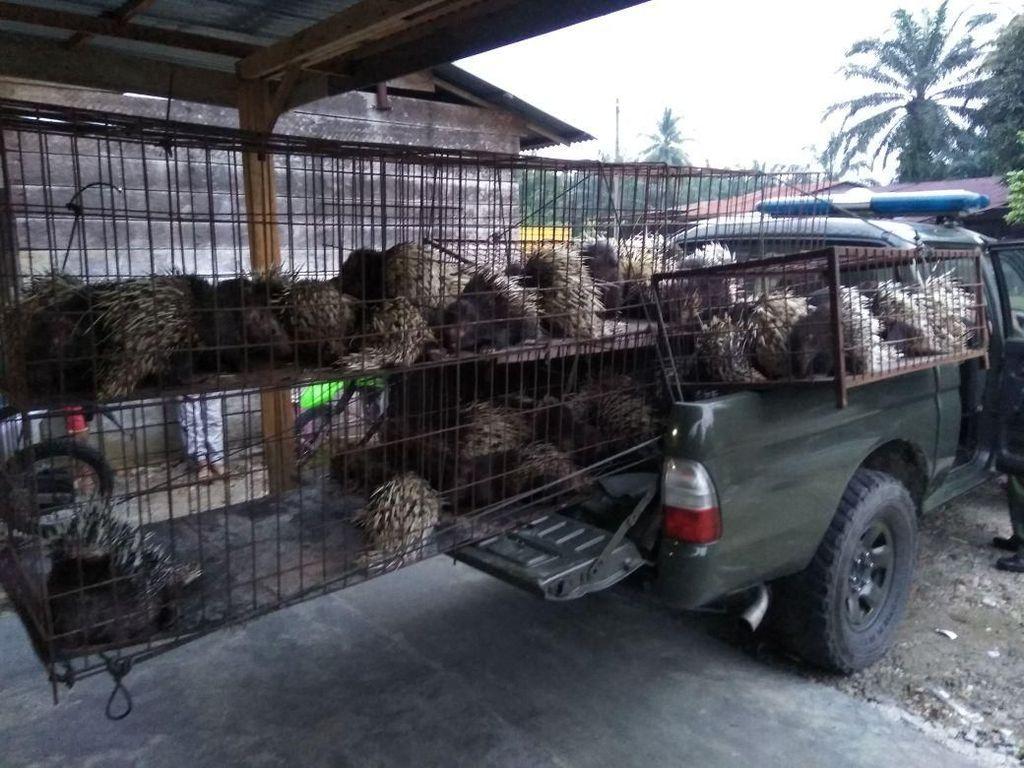 Warga Aceh Ditangkap karena Pelihara 67 Landak