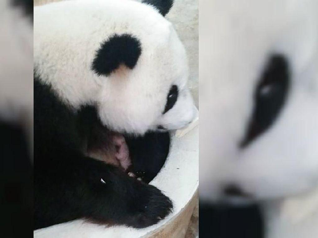 Bayi Panda Raksasa Lahir di Kebun Binatang Malaysia