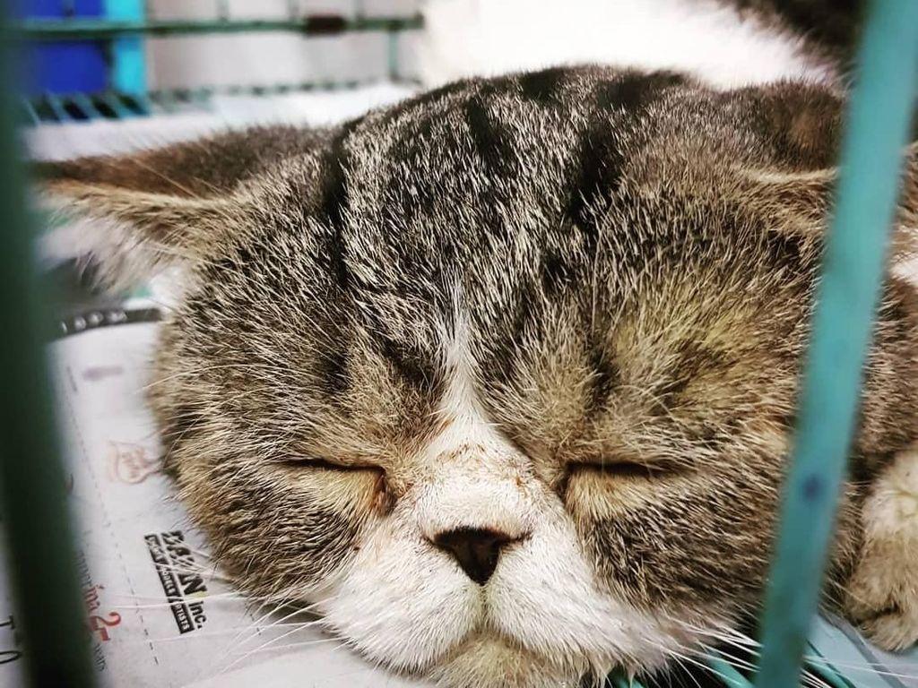 Wanita ini Habis Rp 20 Juta untuk Operasi Plastik Kucing Peliharaannya