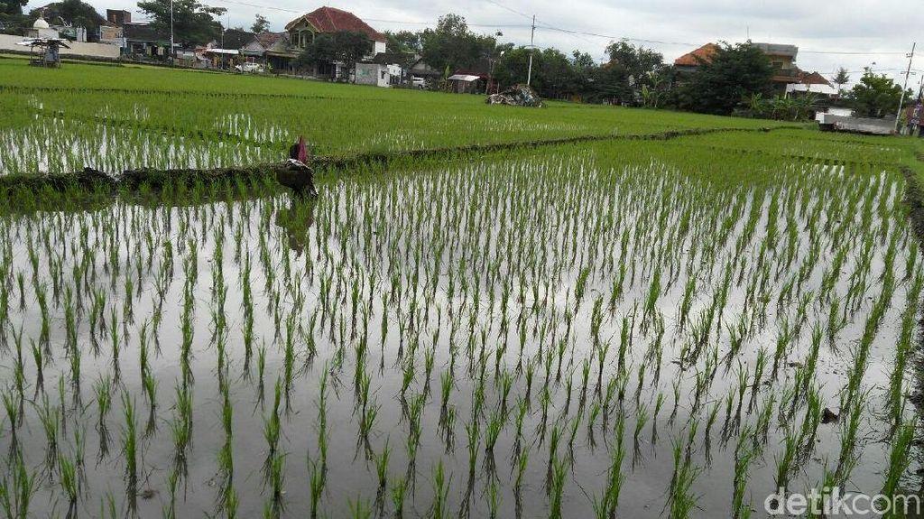 2018, Kabupaten Malang Tanam Padi 72 Ribu Hektare