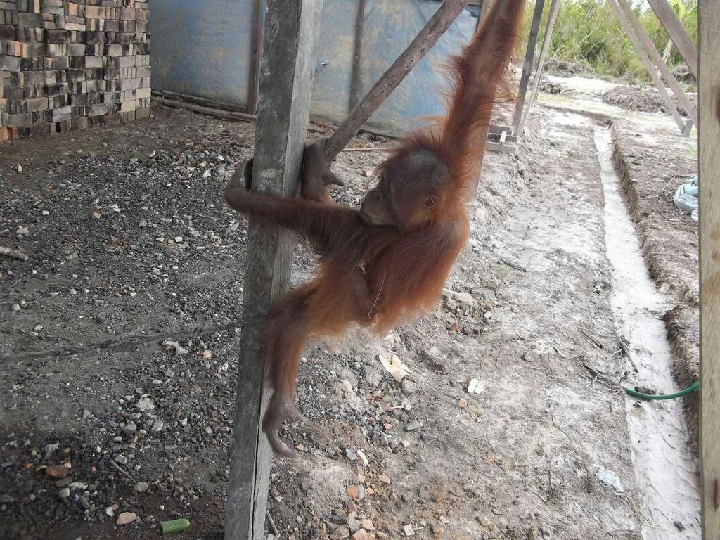 Terpisah dari Induknya, Anak Orangutan di Kalteng Diselamatkan