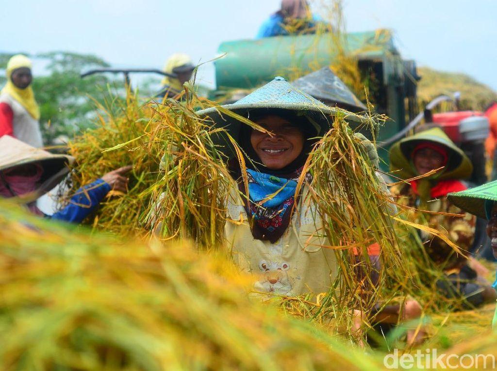 Tumpangsari Jadi Andalan Genjot Produksi Padi, Jagung & Kedelai