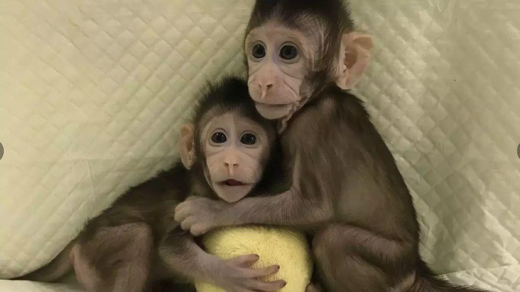 Potret 2 Monyet Hasil Kloningan di China