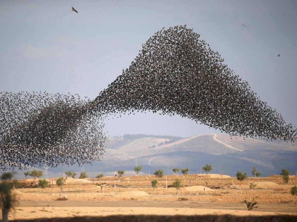 Potret Migrasi Burung Jalak di Langit Israel-Italia yang Menakjubkan