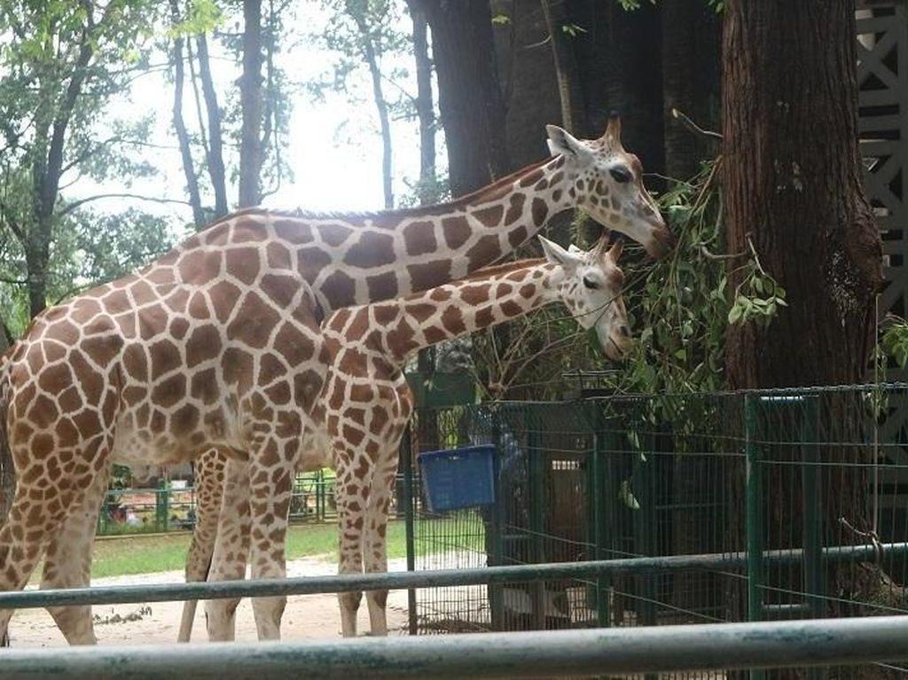 Bermain Bersama Jerapah di Kebun Binatang Ragunan