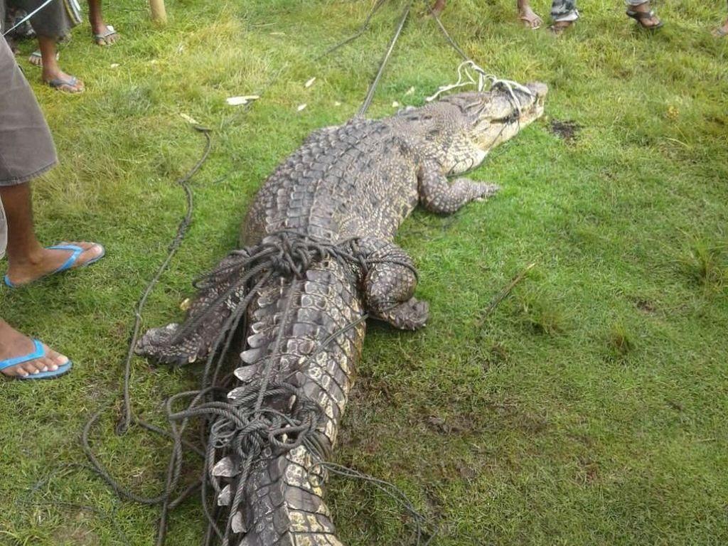 Hii! Buaya 3 Meter Ditemukan Warga Gorontalo di Tambak Udang