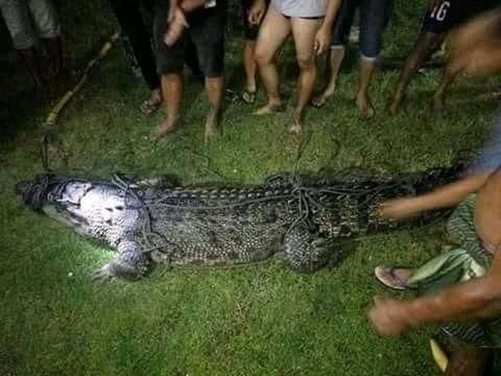 Potret Buaya 3,4 Meter yang Nyasar ke Tambak Udang Warga Gorontalo