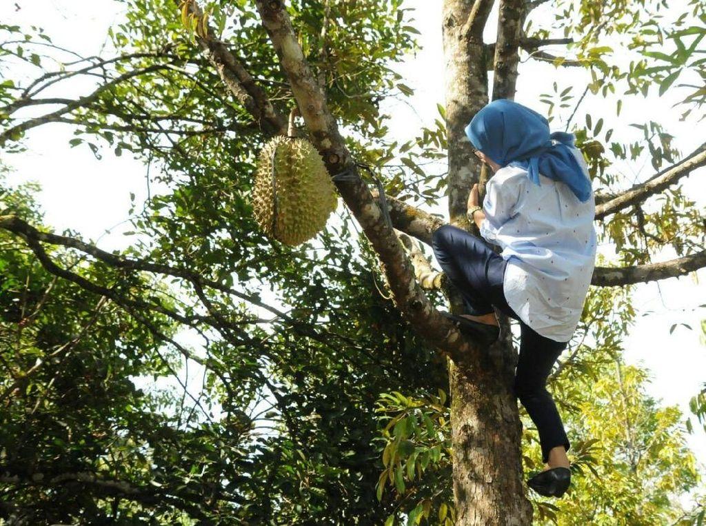 Video: Aksi Bupati Iti Octavia Panjat Pohon Durian Jadi Perbincangan
