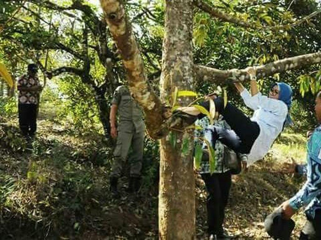 Viral Aksi Bupati Lebak Iti Octavia Panjat Pohon Durian
