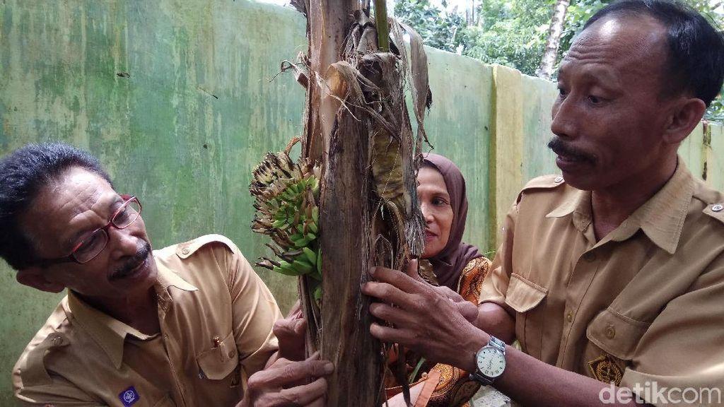Foto: Pohon Pisang Berbuah dari Batang di Pangkep Sulsel