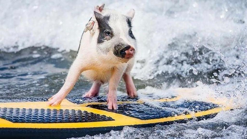 Foto: Babi yang Aneh... Suka Surfing