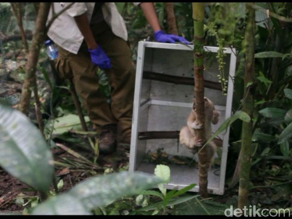 15 Kukang Jawa Akhirnya Dilepasliarkan di Gunung Syawal Ciamis