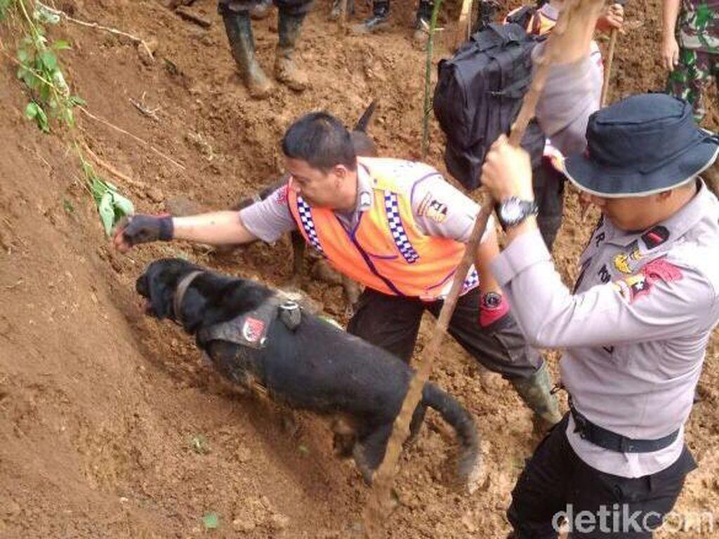 Aksi Anjing K9 Emma dan Sam Temukan Korban Longsor Cijeruk