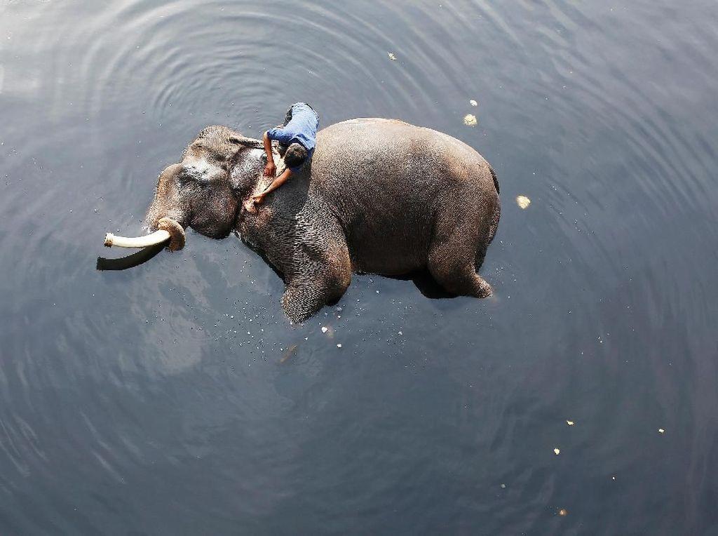 Sambil Tiduran, Gajah Ini Dimandikan Pakai Air Sungai yang Kotor