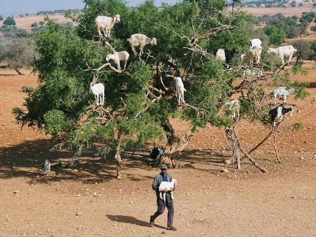 Pohon Kambing Maroko yang Ikonik, Ternyata Bohongan?