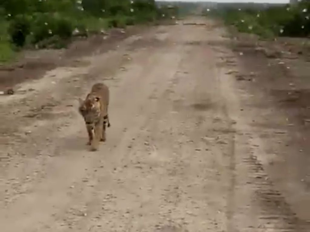 Tim Pemburu Harimau Pemakan Jumiati Juga Bertugas Tenangkan Warga