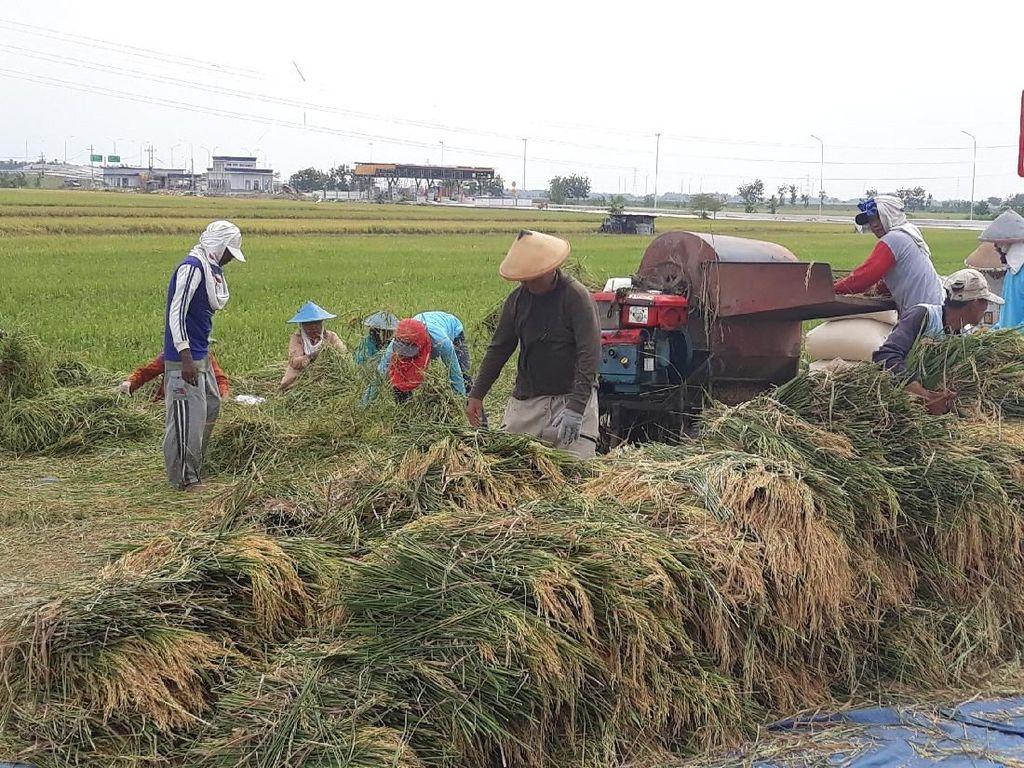 Begini Kesedihan Petani Ngawi di Balik Panen Raya Padi