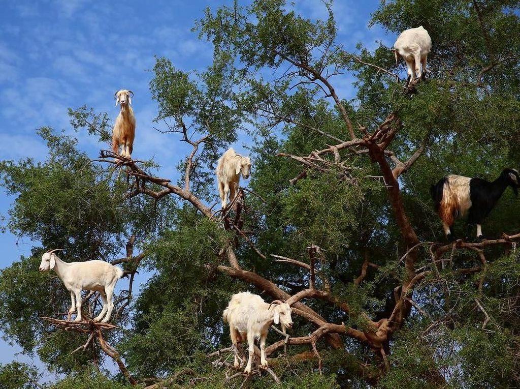 Foto: Kamu Nggak Salah Lihat, Ini Pohon Kambing
