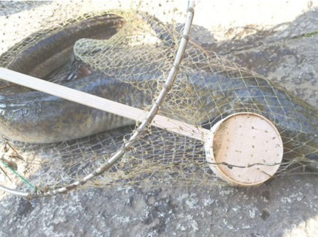 Belut 1,3 Meter Ditemukan di Kolam Suci Kuil Jepang