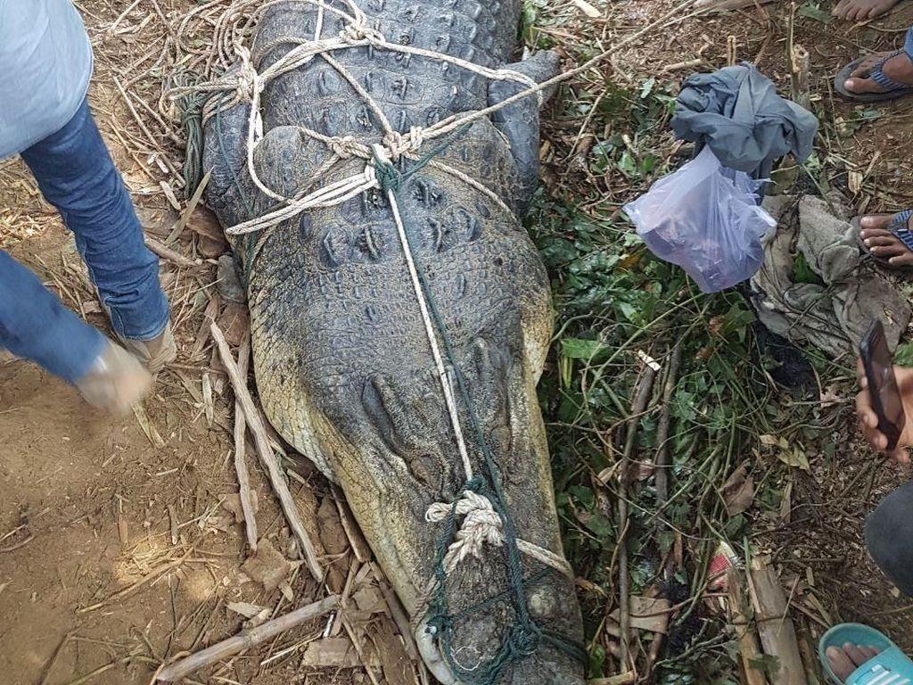 Buaya 1 Ton yang Ditangkap Warga Aceh Timur Jadi Tontonan