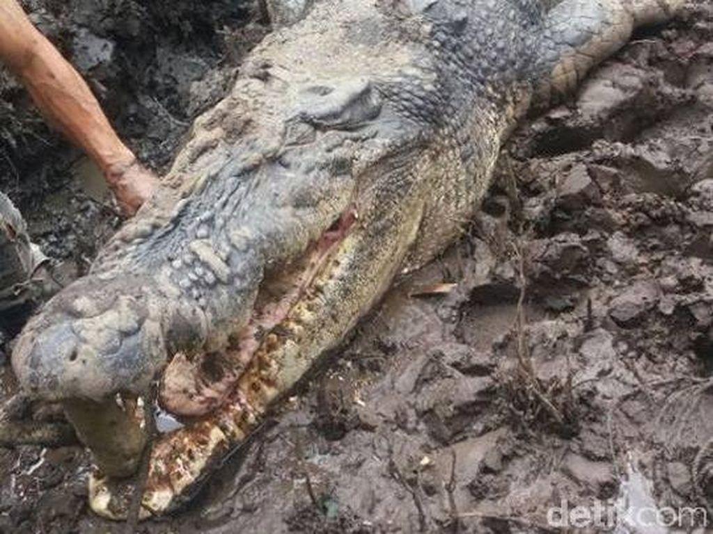 Buaya Pemangsa Warga yang Mati Dijebak di Kalteng Beratnya 1 Ton