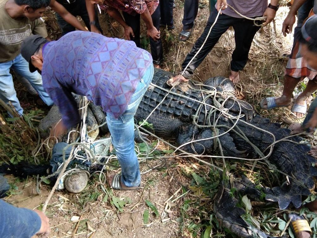Foto: Seramnya Buaya Muara 600 Kg yang Ditangkap Warga Aceh Timur