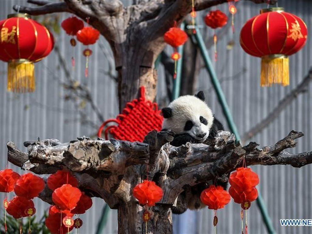 Gemas! Saat Anak Panda Raksasa Rayakan Imlek