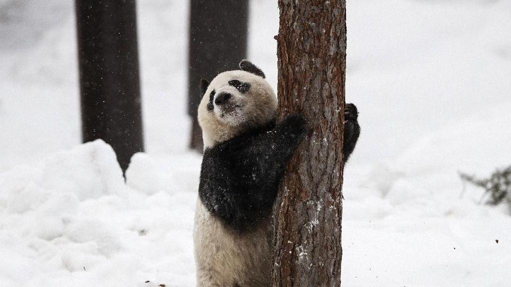 Foto: 2 Panda Menggemaskan Kado China untuk Finlandia