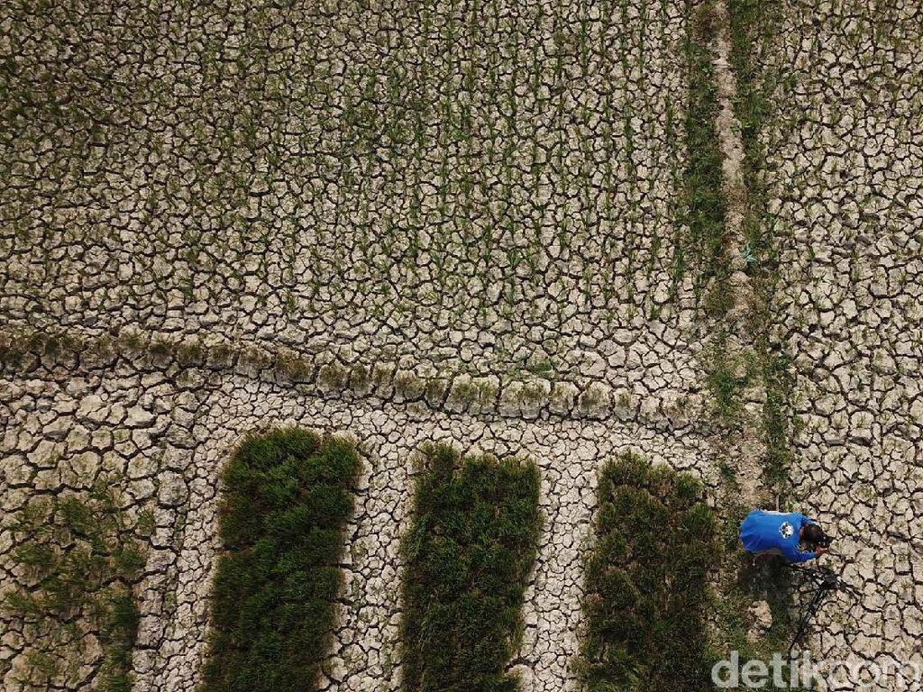 Penampakan 1.400 Hektar Sawah Kering di Aceh